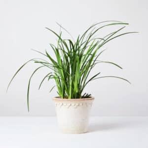 معرفی گیاه لیروپ