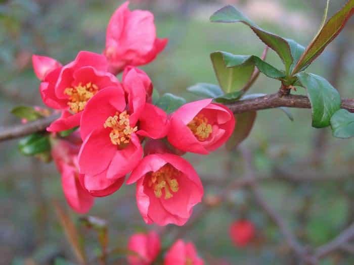 معرفی گل شاخه به ژاپنی