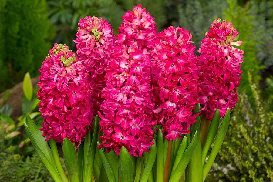 معرفی گل سنبل