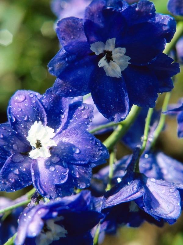 معرفی گل دلفینیوم (زبان در قفا)