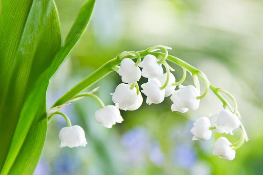 معرفی گل موگه (گل برفی)