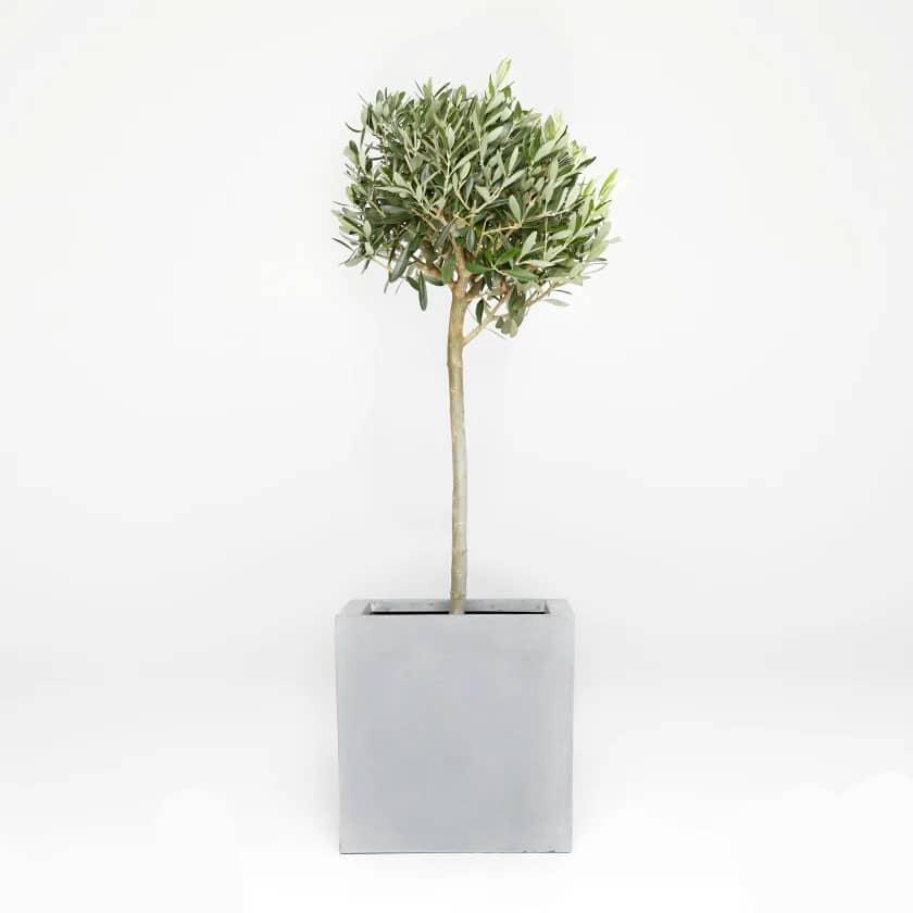 معرفی درخت زیتون