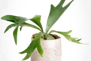 معرفی سرخس شاخ گوزنی