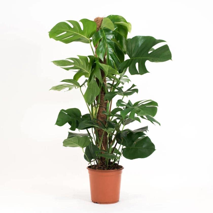 معرفی گیاه برگ انجیری