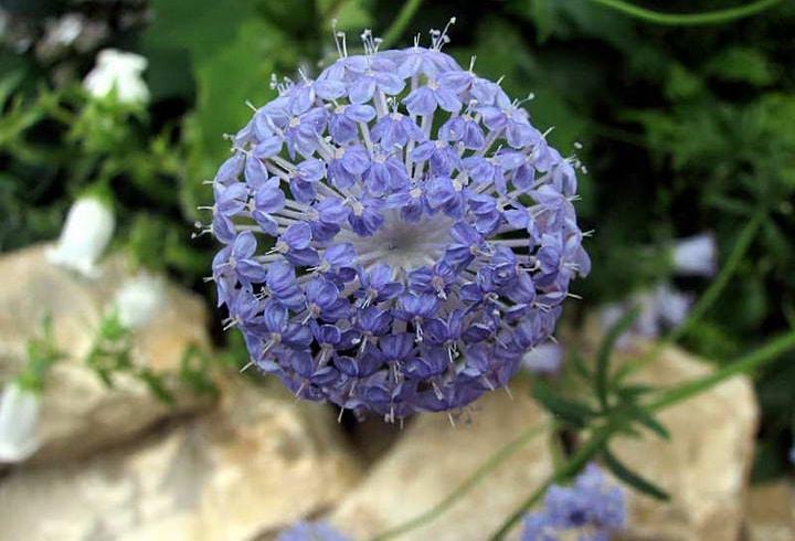 معرفی گل توری آبی (آبی تیزی)
