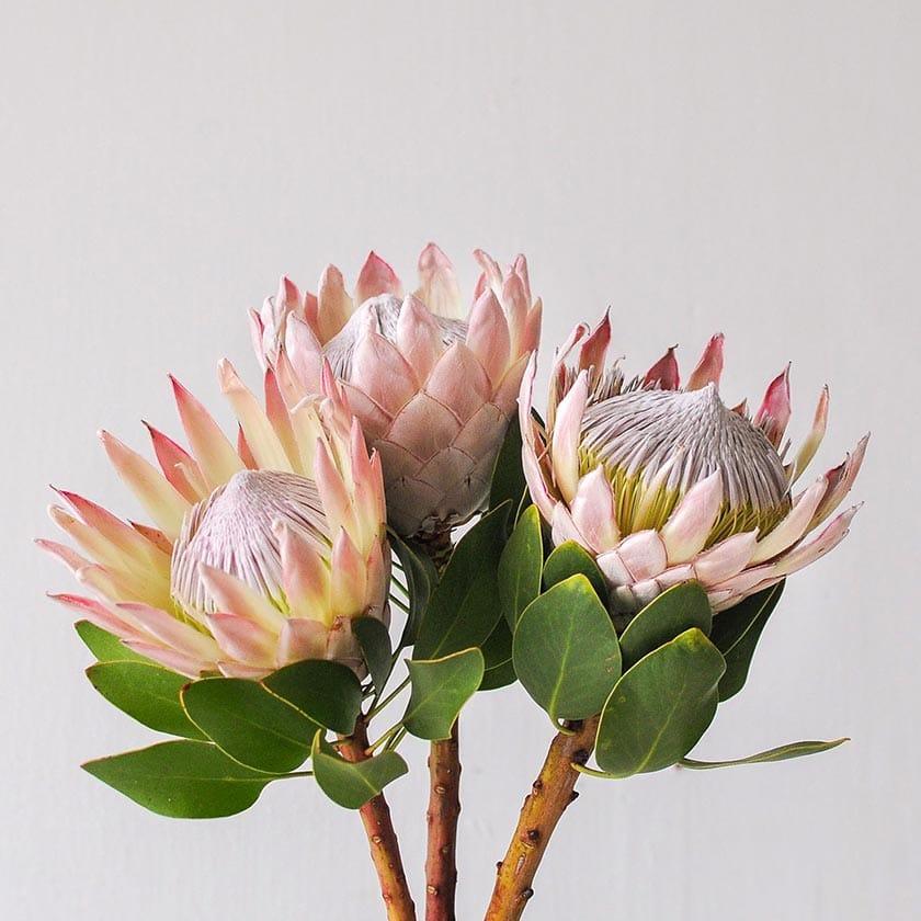 معرفی گل پروتیا (شکرپاره پادشاه)