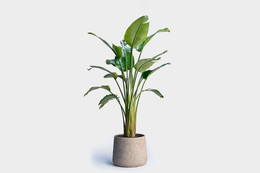 معرفی گل برگ استرلیتزیا