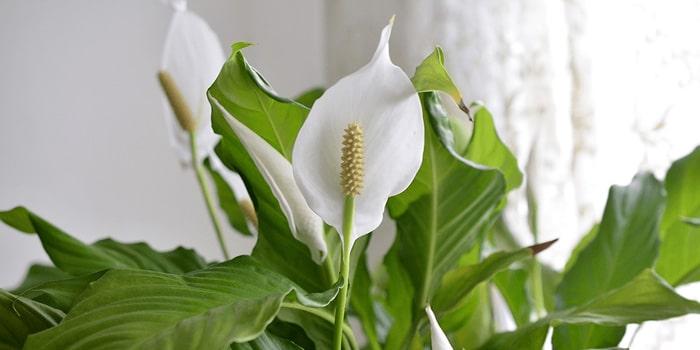 معرفی اسپاتی فیلوم (گیاه صلح)