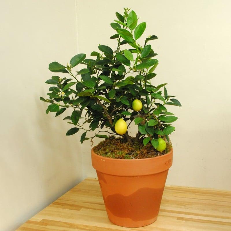 معرفی درخت لیمو