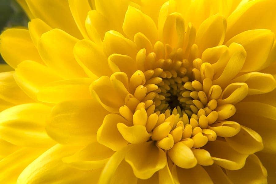 معرفی گل داوودی شاخه ای