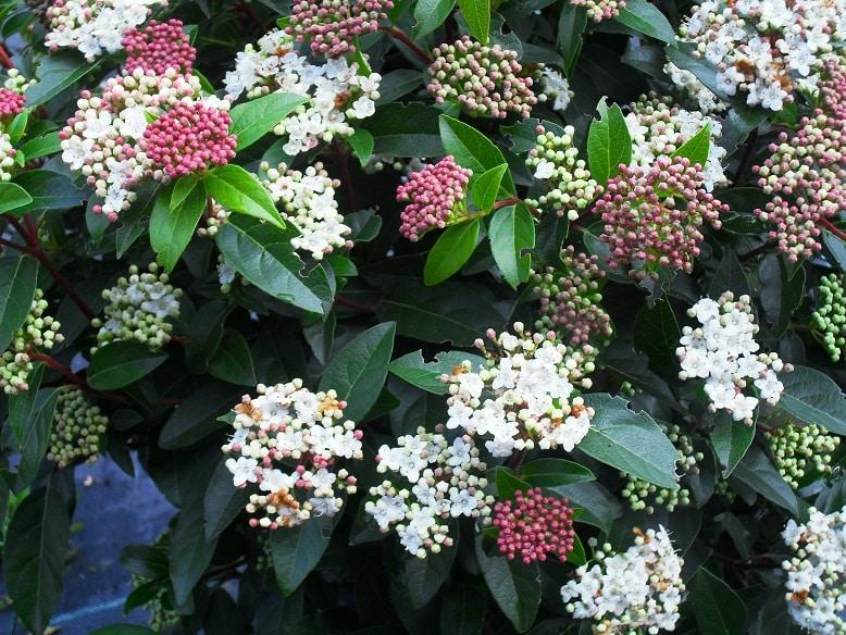 گل بداغ (ویبورنوم)