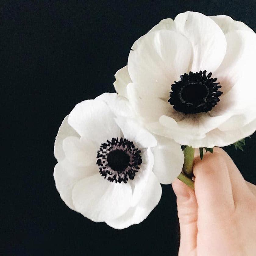 معرفی گل آنمون
