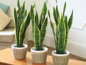 گیاه سانسوریا چه نوع گیاهی است؟