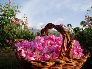 خاصیت های بی نظیر گل محمدی