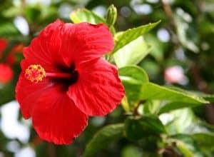 فواید گل ختمی برای موها