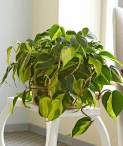 گیاه همیشه سبز (فیلودندرون)