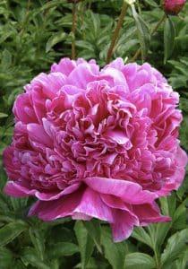 گل صد تومانی یا پائونیا چه نوع گلی است؟!