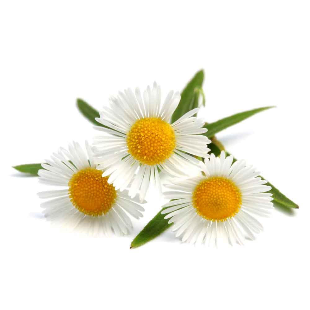 خاصیت های گل بابونه