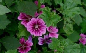 گل پنیرک چیست و چه فواید و معایبی دارد.
