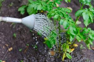 آب مورد نیاز گیاهان آپارتمانی و روش آن