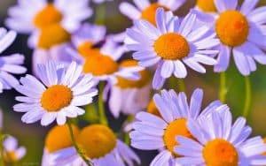 معرفی کامل گل بابونه