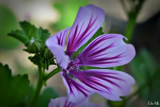 فواید و معایب مصرف گل ختمی