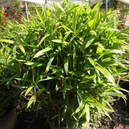 معرفی کامل گیاه آروندیناریا