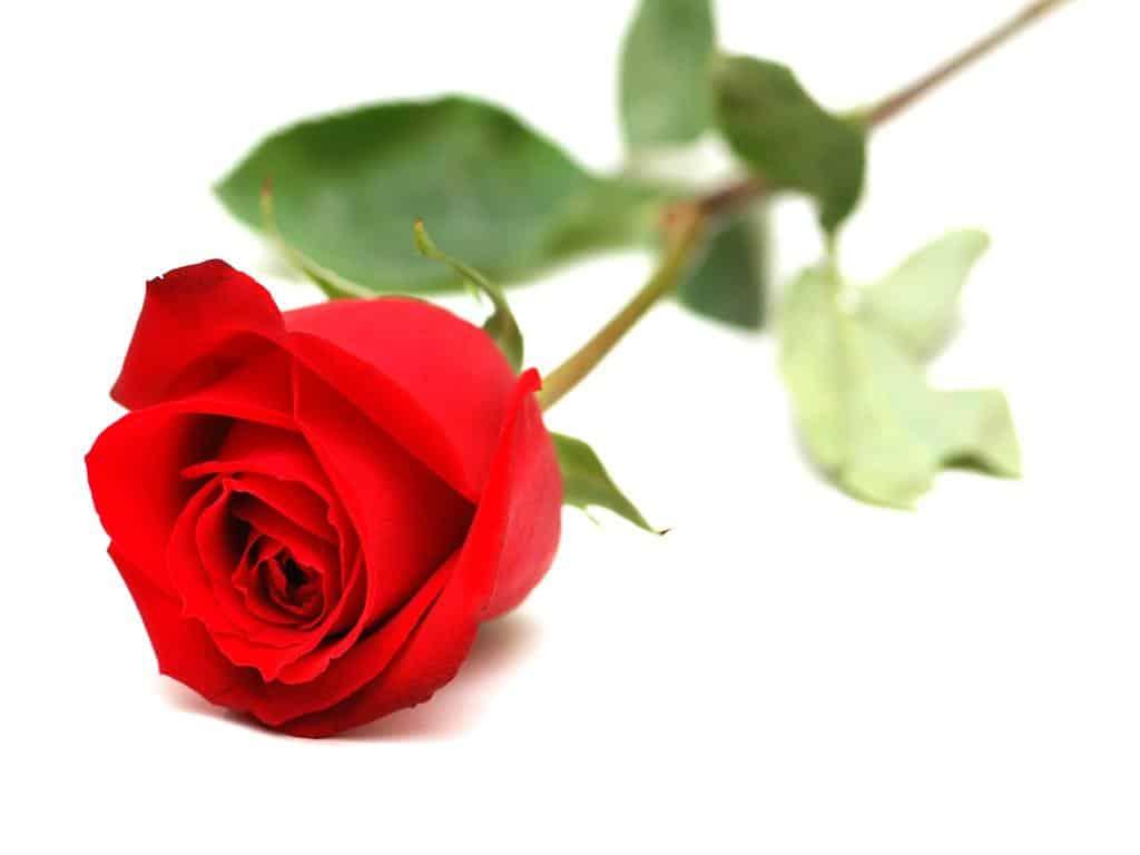 چه گل هایی برای هدیه روز معلم مناسب است.