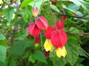 از گل ابوتیلون چه میدانید؟!
