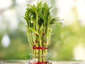 نماد و نشانه های گیاه بامبو