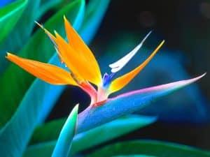 گل پرنده بهشتی یا (استرلیتزیا) چه نوع گلی است؟!